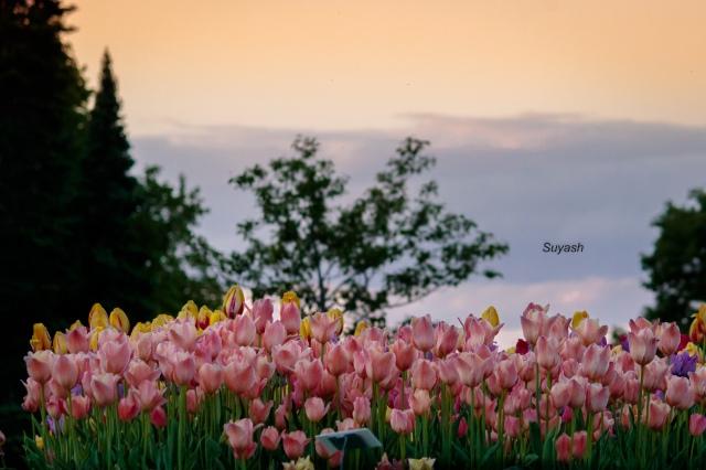 Tulips in Minnesota Arboretum